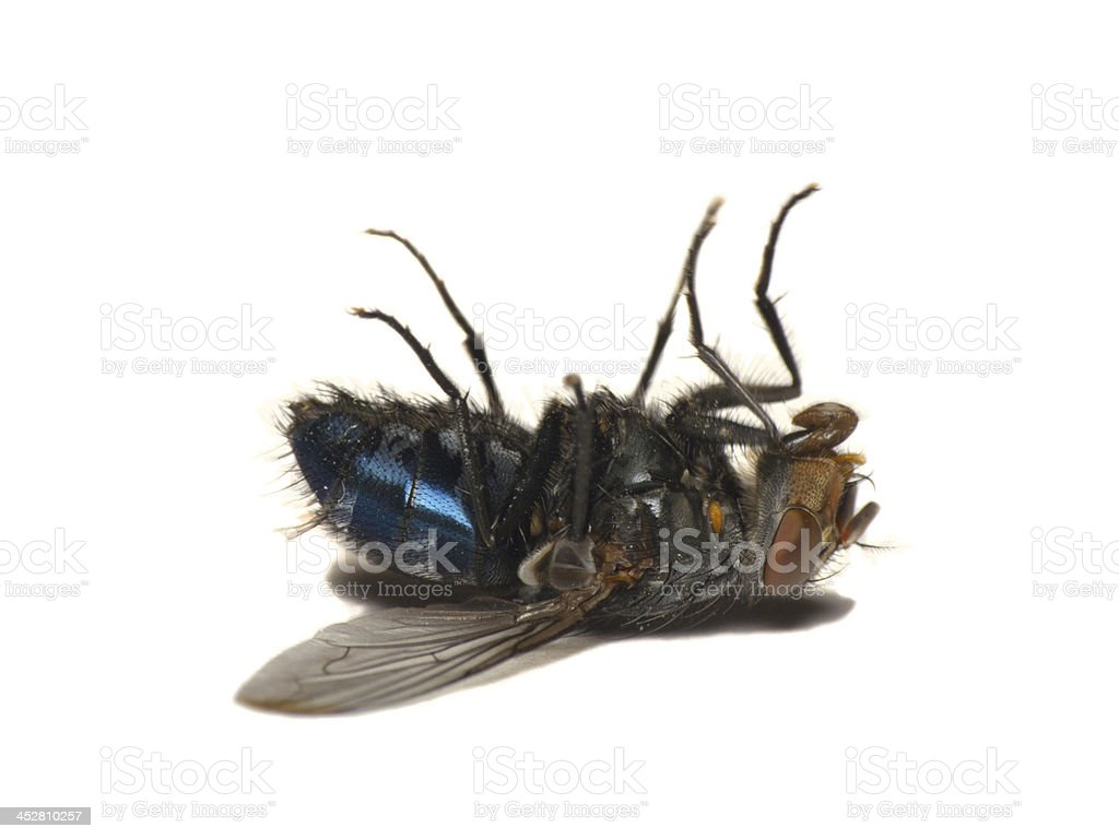 Dead fly isolated on white(Caliphora vomitoria) stock photo