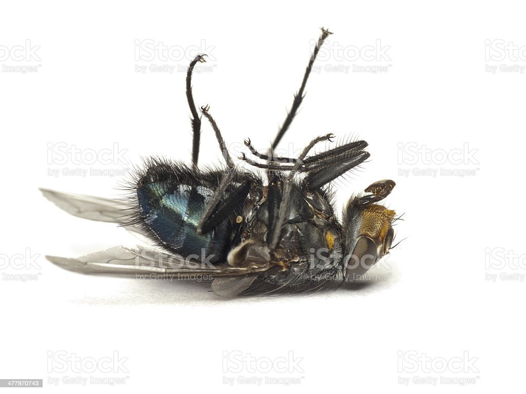 Dead fly isolated on white royalty-free stock photo