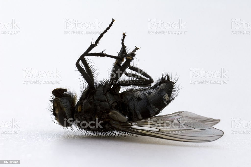 Dead Fly royalty-free stock photo
