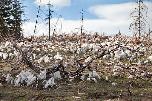 Dead forest in the mountains on rocky ground