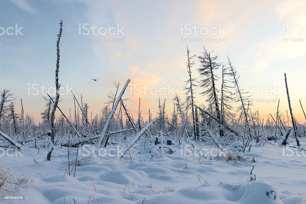 dead forest in winter in Siberian taiga stock photo