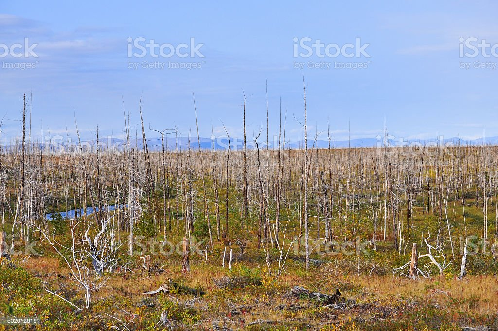 Dead forest on the river Fishing. stock photo