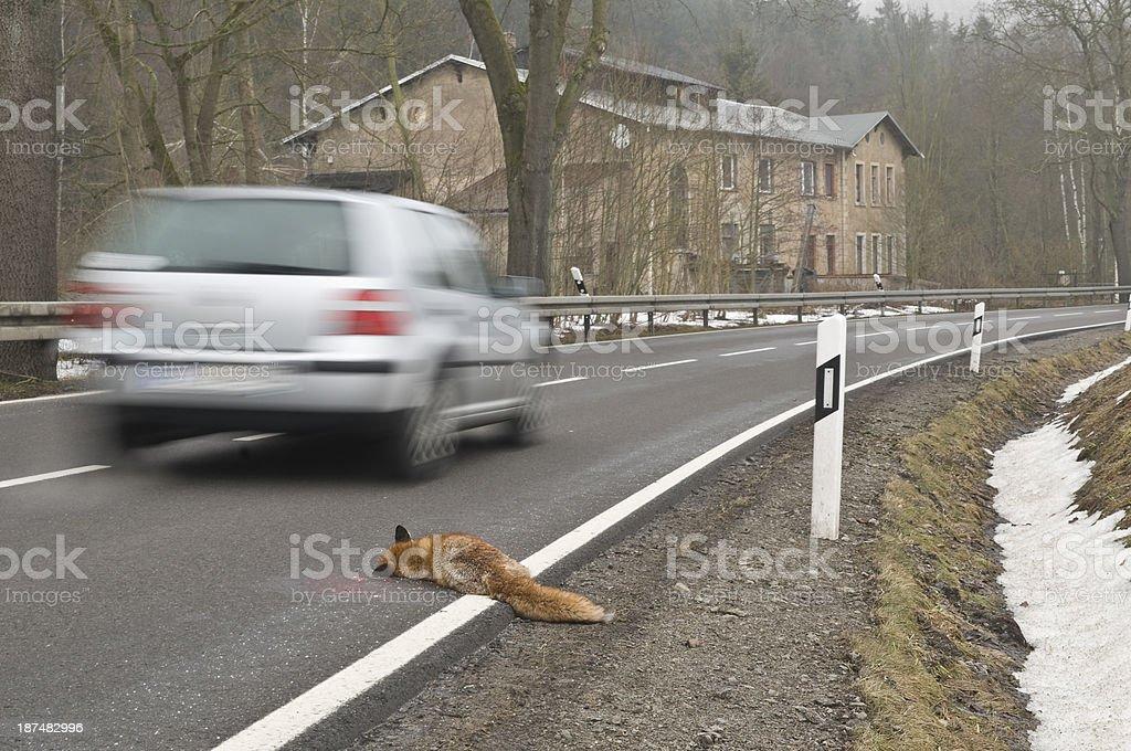 Dead fox hit by a car lies beside a road stock photo