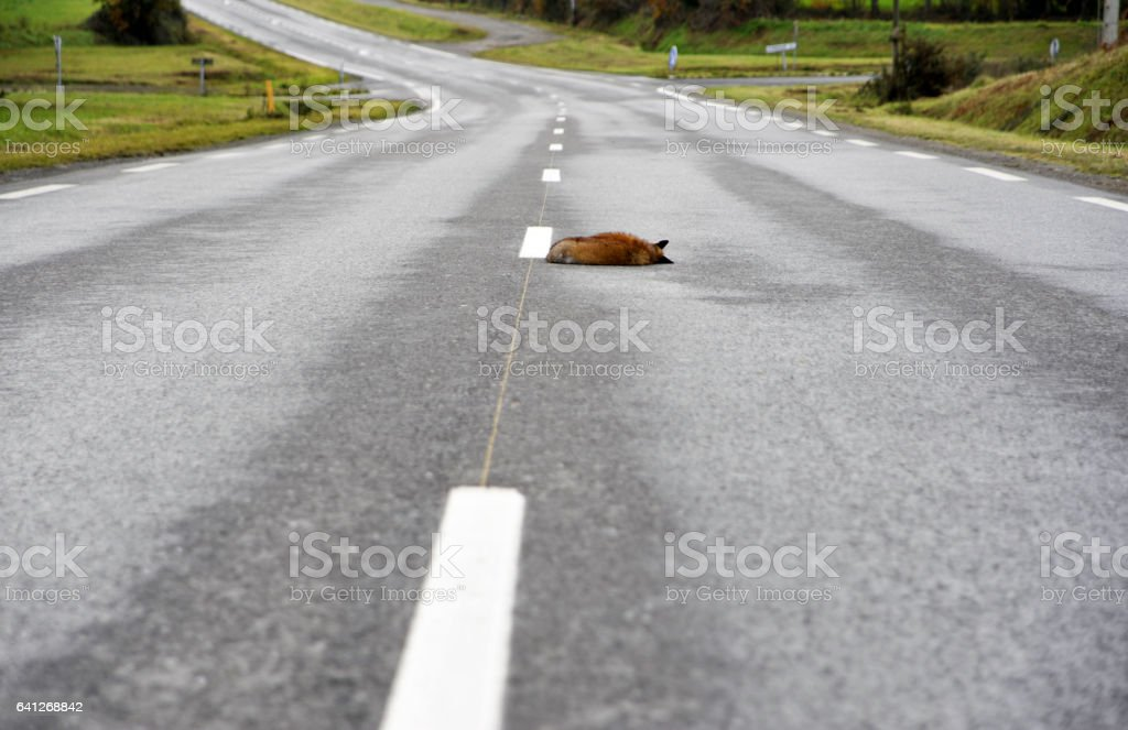 Dead fox in the road stock photo