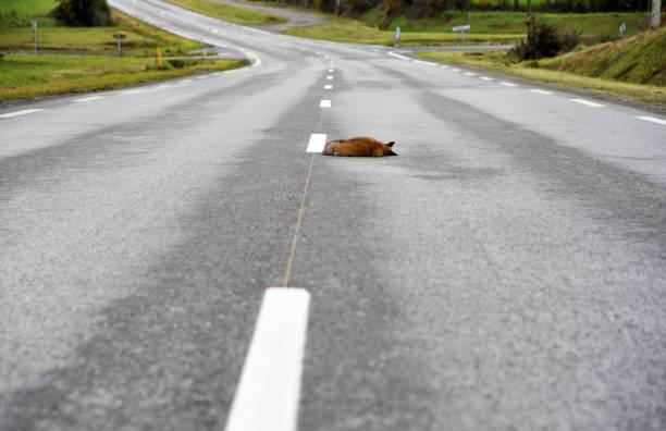 Raposa morta na estrada - foto de acervo