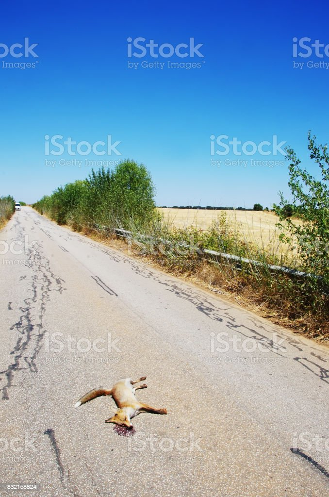 Dead fox killed on the roads stock photo