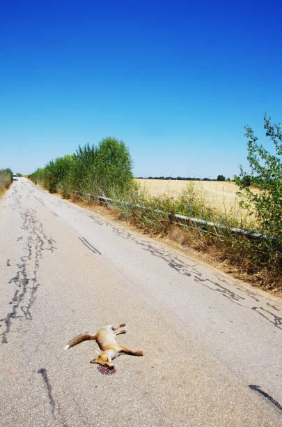 Raposa morta mortos nas estradas - foto de acervo