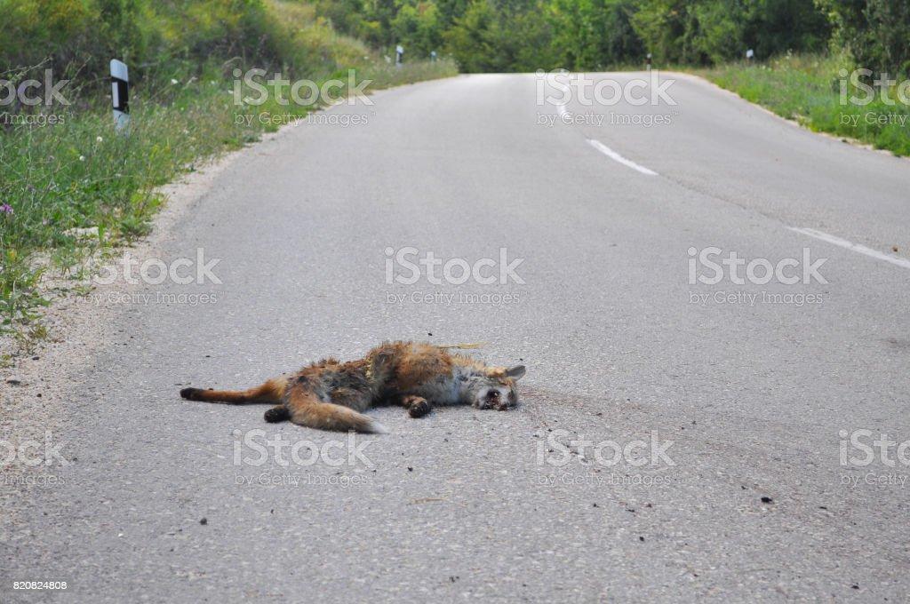 Raposa morta na estrada de asfalto após acidente de carro. - foto de acervo