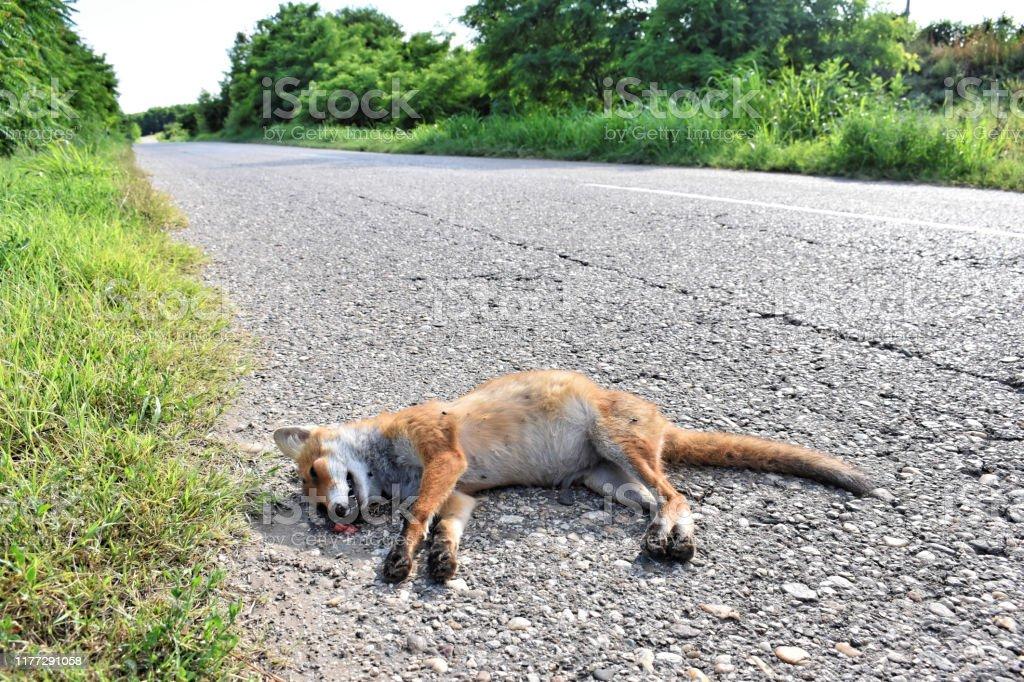 車にぶつかった道路上の死んだキツネ ロードキル - アスファルトの ...