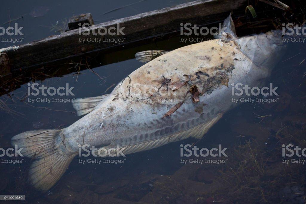 Toten Süßwasserfisch – Foto