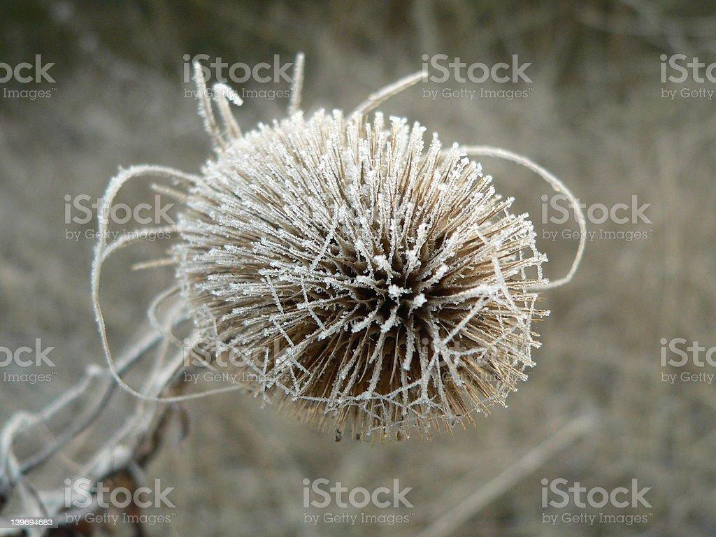Dead frosty tweezle stock photo