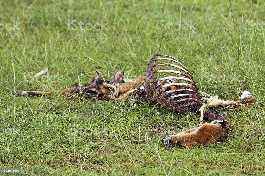 Dead Gazelle Carcass on the Plains stock photo
