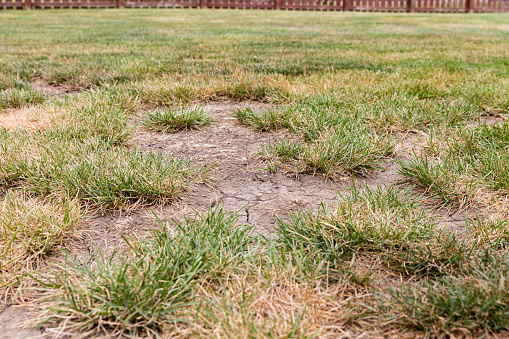 Dead grass, bare spots, and cracks in soil of lawn due to no rain and hot weather causing drought conditions