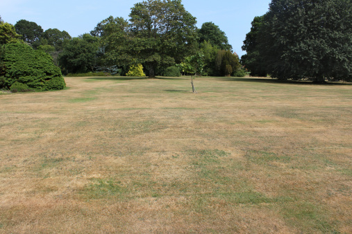 Photo showing dead grass on a park lawn, due to a lack of rain (drought) during particularly hot, dry summer weather, and no watering / irrigation.  The deciduous trees in the background have deeper roots and have been able to find plenty of moisture, remaining nice and green.