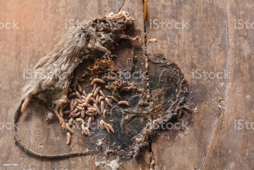 Toten grauen und weißen Maus mit Maden im Körper der Maus auf hölzernen Boden. – Foto
