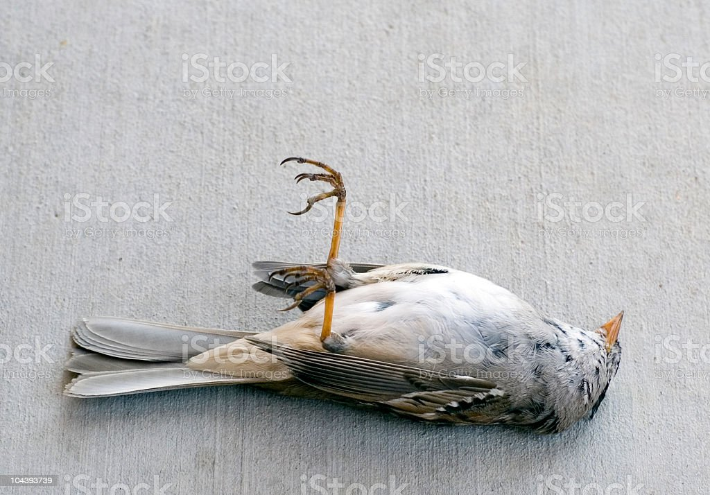 A dead, gray bird laying on its back stock photo