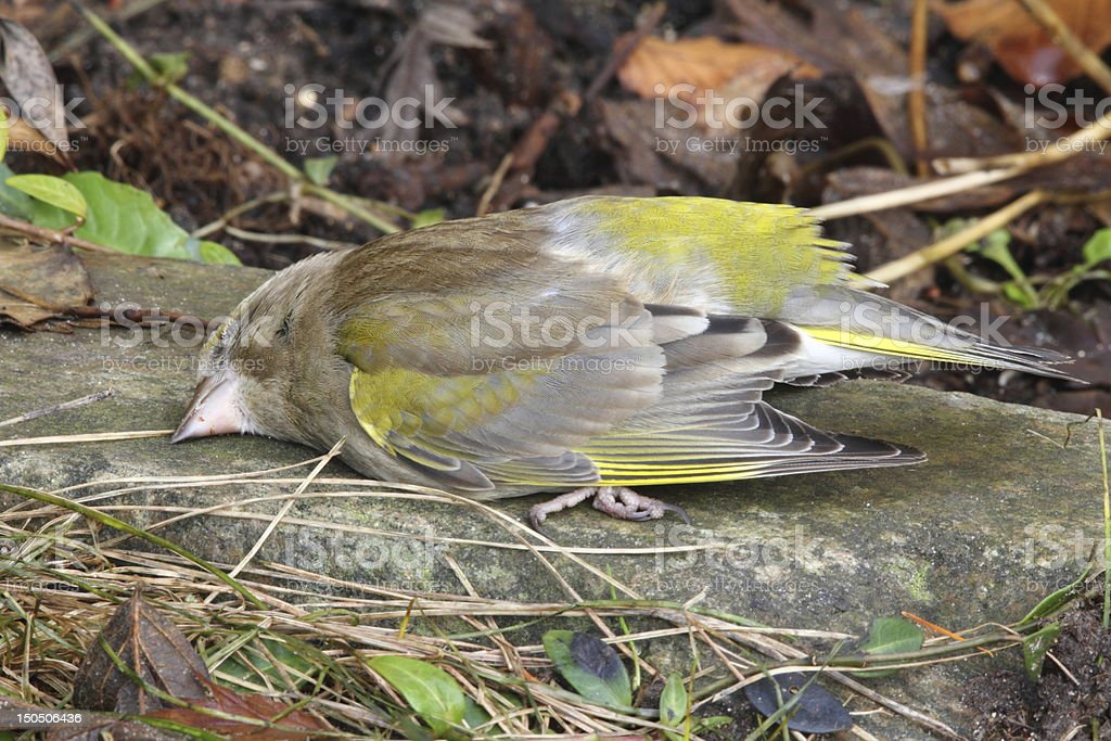 Dead great tit - death is part of life stock photo