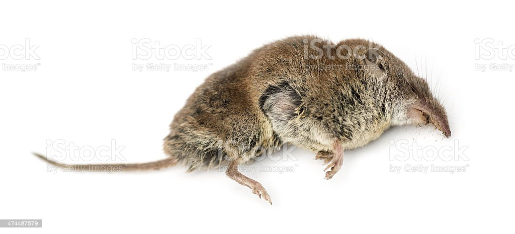 Dead Greater white-toothed shrew, Crocidura russula, isolated stock photo