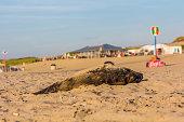 Kijkduin, The Hague, the Netherlands - September 1 2016: dead harbour porpoise on the beach near beach cafes