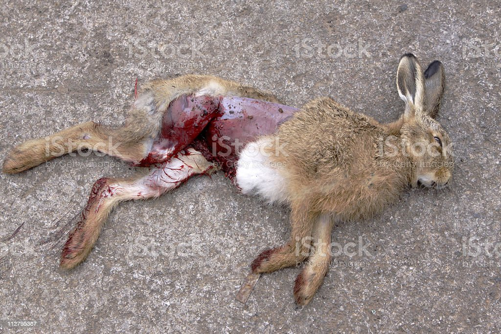 dead hare laying on a road stock photo