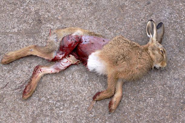 dead hare colocar em uma estrada - foto de acervo
