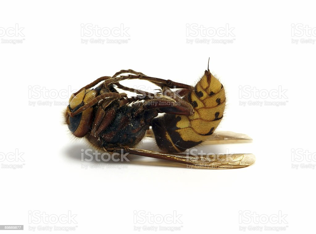dead hornet with spike royalty free stockfoto