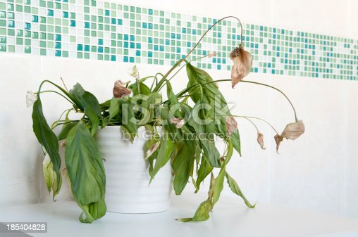 An example of a house plant that has not had enough water.Almost dead spathiphyllum (Peace Lily) in white ceramic pot in front of mosaics of green and plain cream ceramic wall tiles. Focus is on centre of plant with depth of field blur.