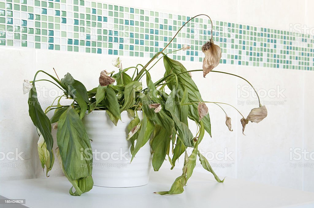 Dead house plant spathiphyllum - Peace Lily stock photo
