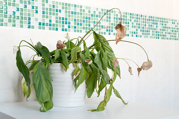 Dead house plant spathiphyllum - Peace Lily An example of a house plant that has not had enough water.Almost dead spathiphyllum (Peace Lily) in white ceramic pot in front of mosaics of green and plain cream ceramic wall tiles. Focus is on centre of plant with depth of field blur. houseplant stock pictures, royalty-free photos & images