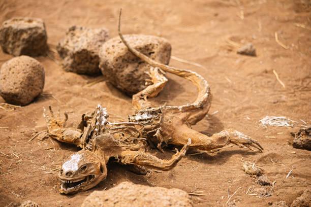 dead iguana skeleton on the stones and sand stock photo