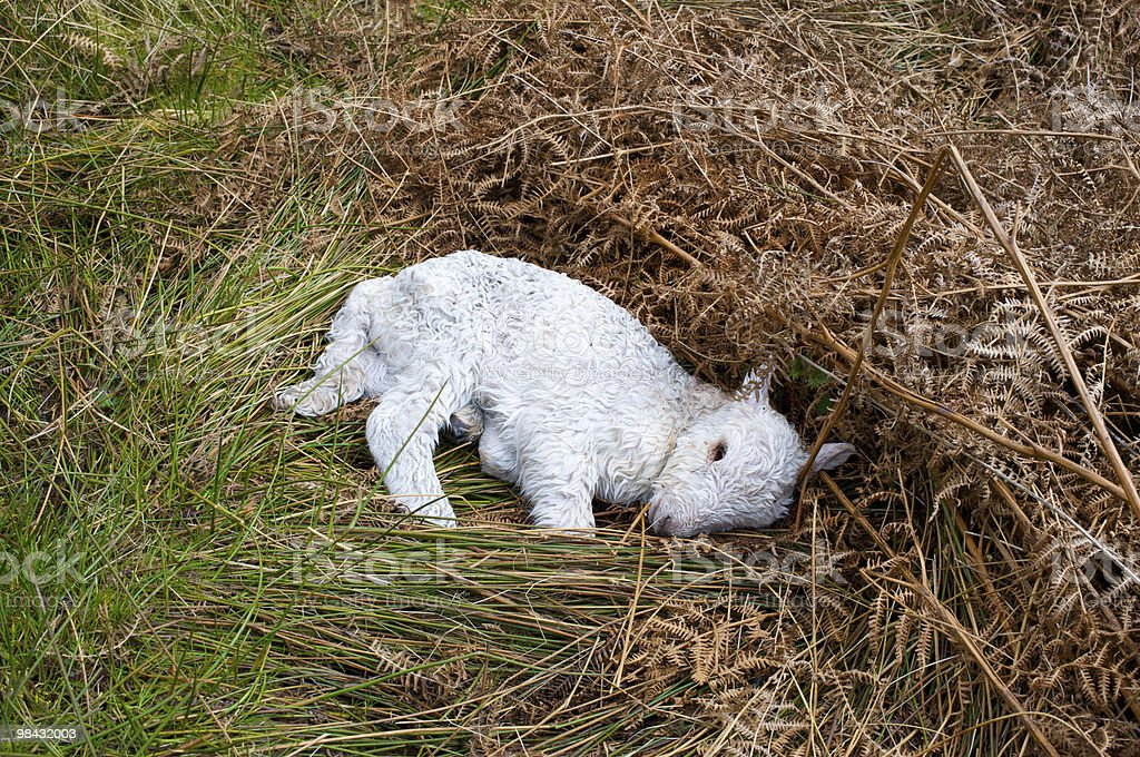 Dead lamb, photographed in spring royalty-free stock photo