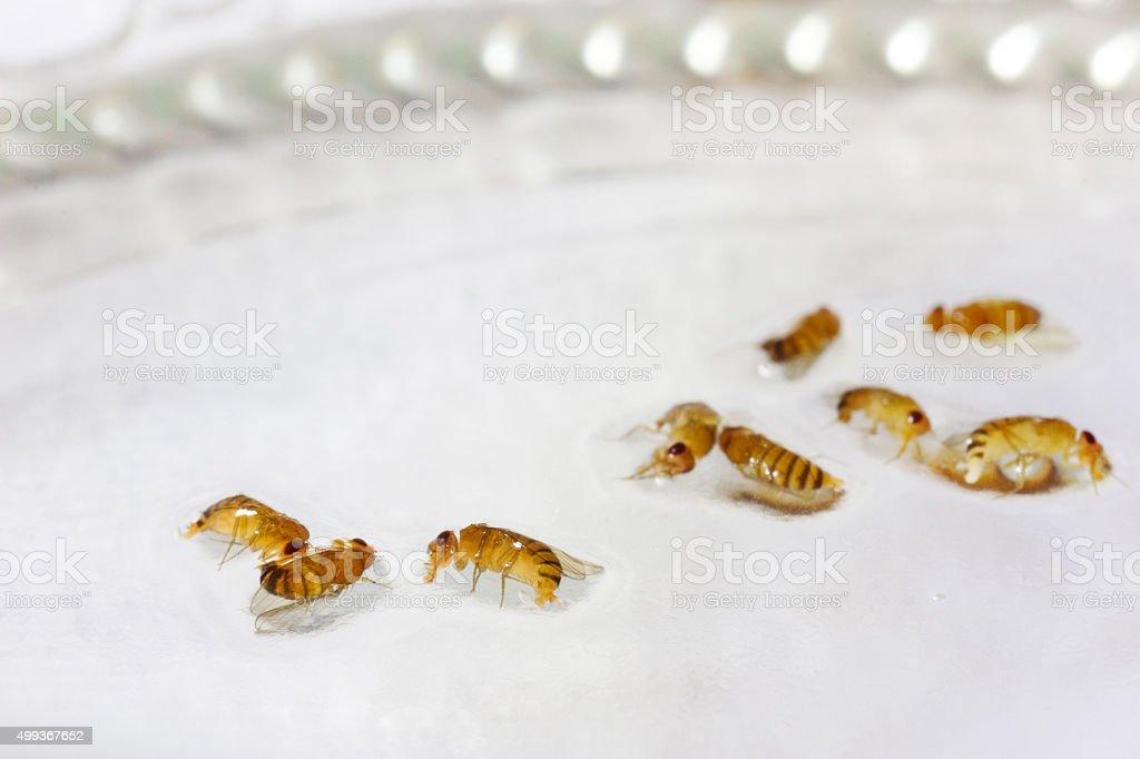 dead laying fruit flies in vinegar liquid stock photo