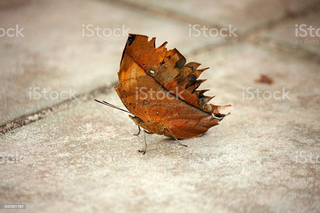 Dead Leaf Butterfly stock photo