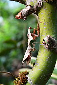 A dead leaf mantis sits in disguise on a tree in the jungle.