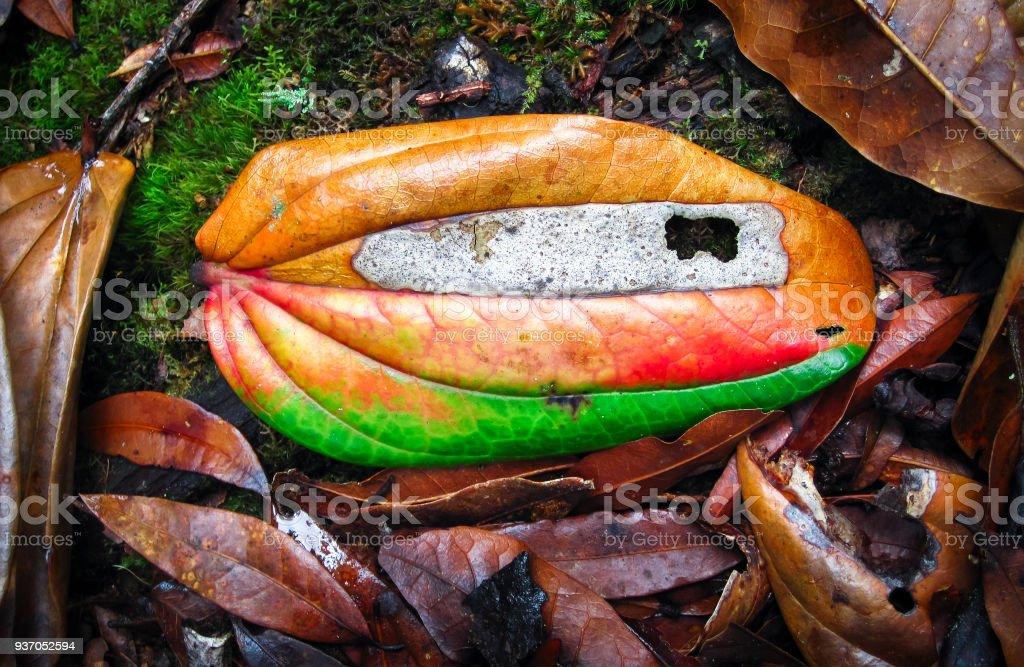 Dead Leaf Shows Vibrant Colors in Costa Rica stock photo