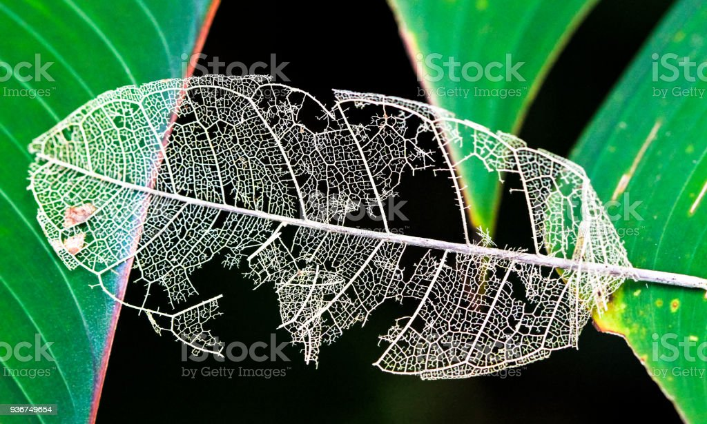 Dead Leaf With Intricate Vein Structure in Costa Rica stock photo