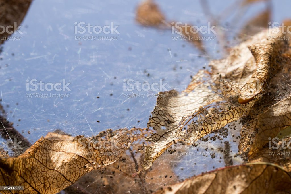 dead leaves wrapped in caterpillar web stock photo