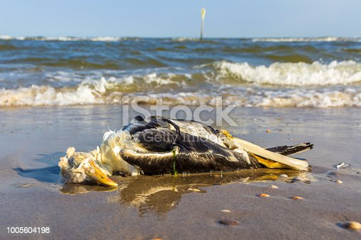 istock dead lesser black-backed gull washed ashore 1005604198