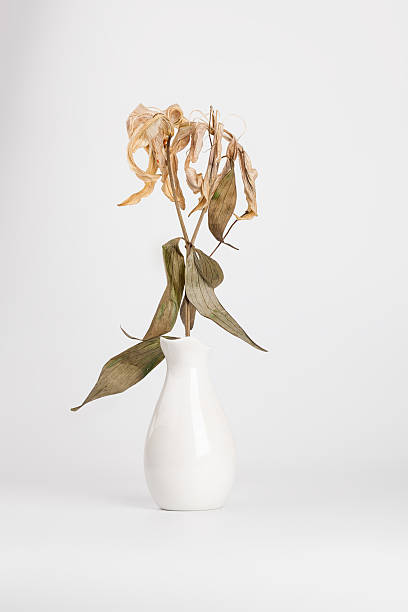 dead lily bouquet in white vase with white background - dead plant stock photos and pictures