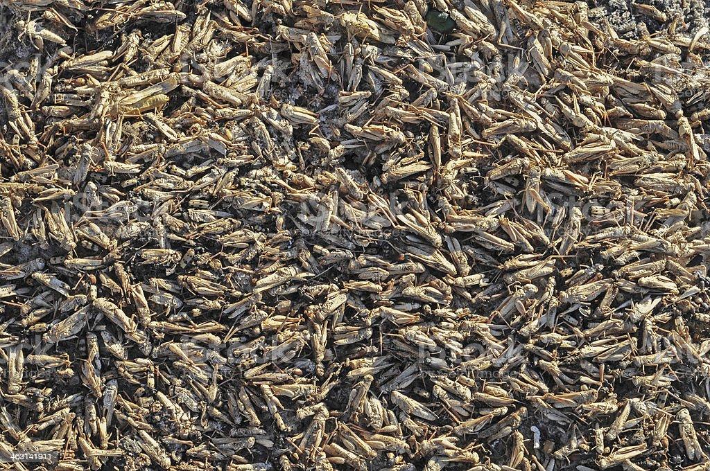 Dead locusts stock photo