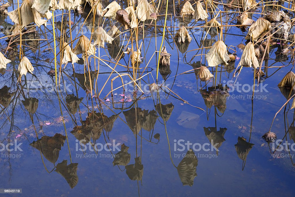 dead lotus plants royalty-free stock photo