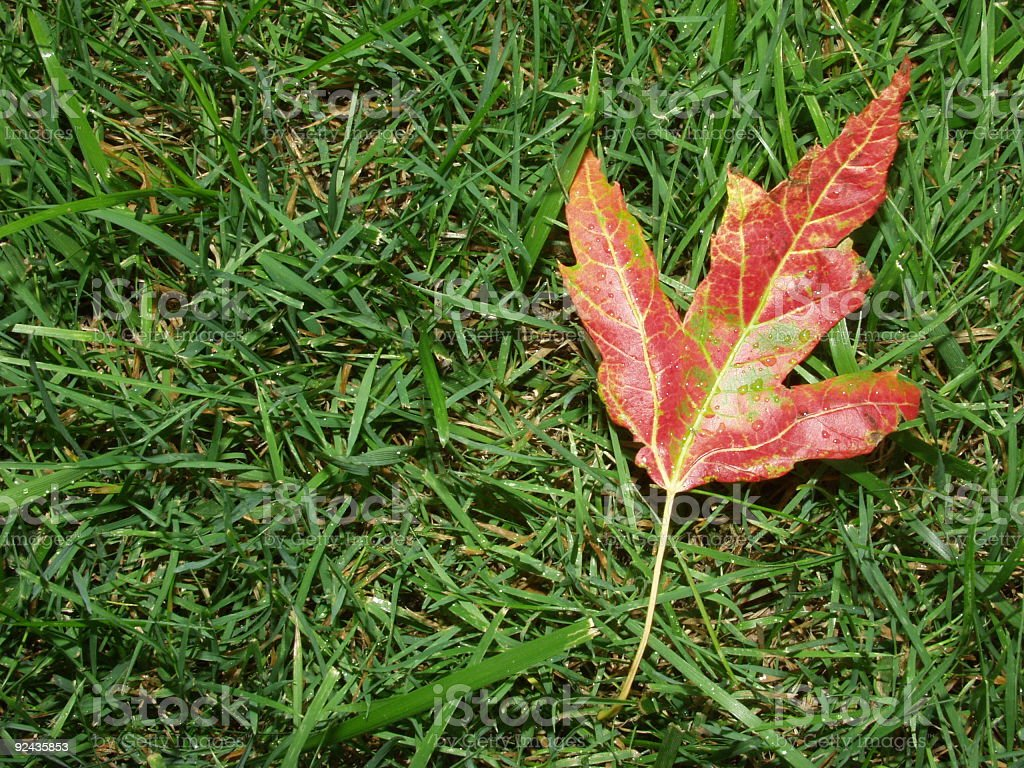 Dead Maple Leaf royalty-free stock photo