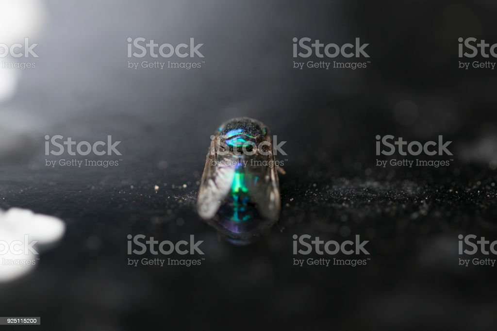 Dead metallic green and blue cluster fly laying down. Macro photography. Close-up picture. stock photo