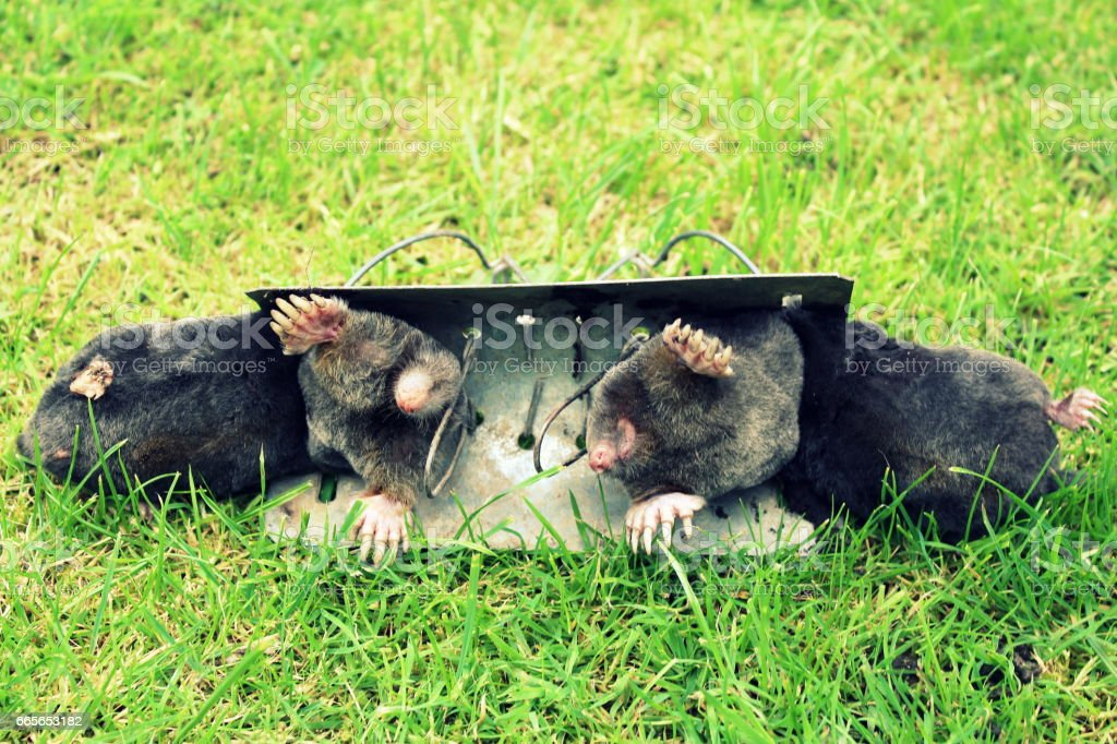 Dead moles caught in barrel traps in West Yorkshire UK stock photo