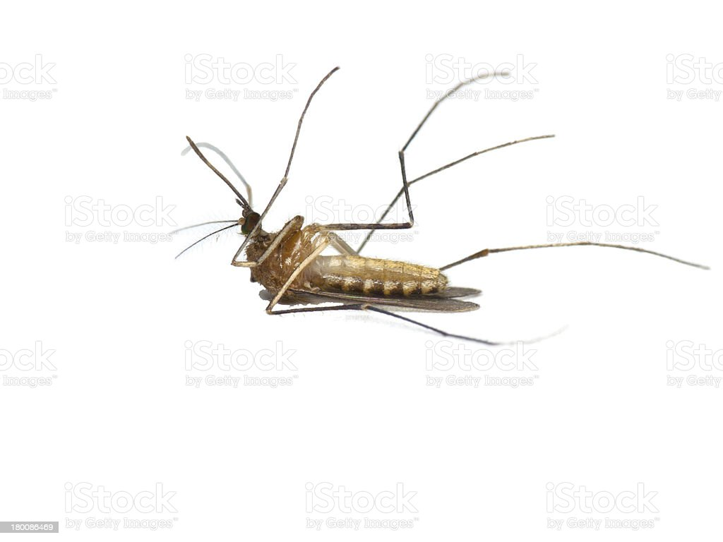 Dead mosquito royalty-free stock photo