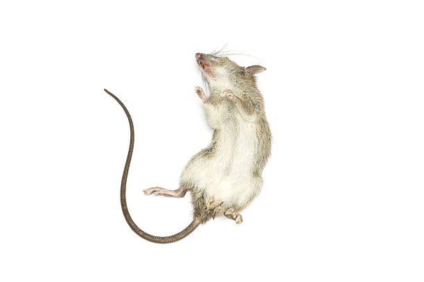 Dead mouse (rat) on a white background stock photo