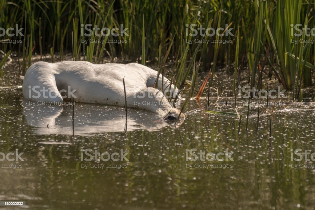 Dead Mute Swan, Cygnus olor, floating in the water in summer, green grass in the background. Sweden, Europe stock photo
