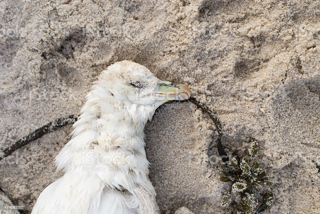 Dead northern fulmar, Fulmarus glacialis stock photo