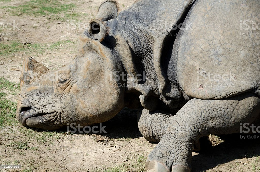 Dead one-horned rhino stock photo