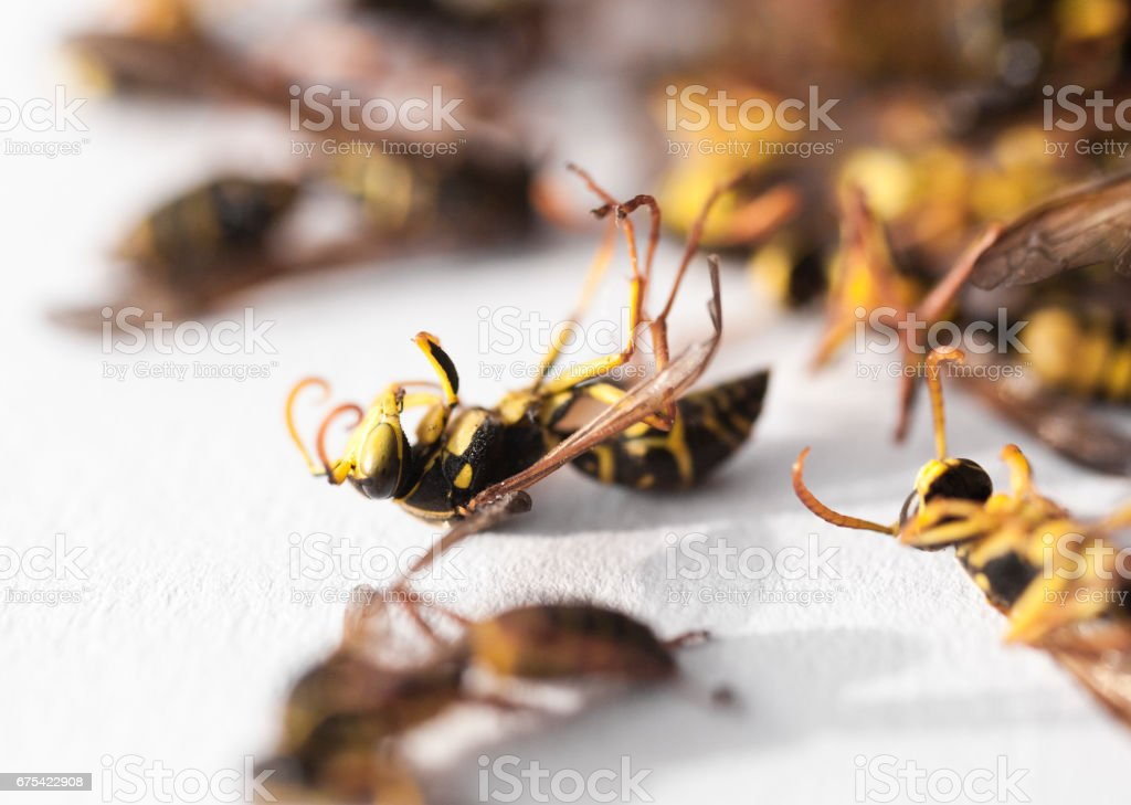 Dead Paper Wasps stock photo